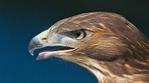 Превью Eagle (7) (700x388, 205Kb)
