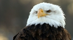 Превью Eagle (8) (700x388, 182Kb)