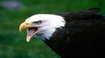 Превью Eagle (10) (700x388, 141Kb)