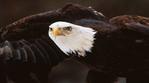 Превью Eagle (12) (700x388, 151Kb)