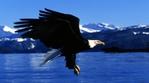 Превью Eagle (13) (700x388, 184Kb)