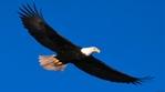Превью Eagle (15) (700x388, 131Kb)
