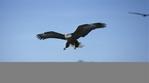 Превью Eagle (19) (700x388, 129Kb)