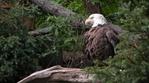 Превью Eagle (25) (700x388, 253Kb)
