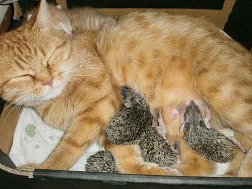 Кошка Соня кормит ёжиков..