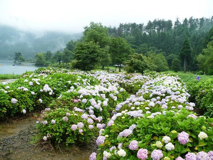 Сад цветущих гортензий (700x525, 364Kb)