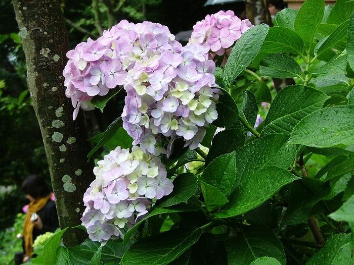Цветы гортензий (700x525, 341Kb)