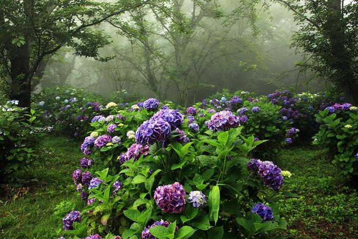 Японский сад гортензий (700x466, 348Kb)