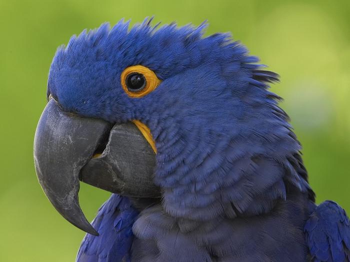 4326608_parrots (700x525, 245Kb)