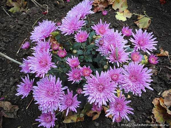 Осенние цветы (600x450, 250Kb)