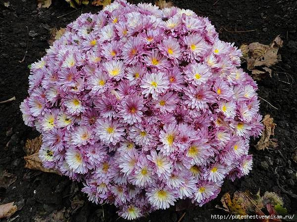 Осенние_цветы (600x450, 234Kb)