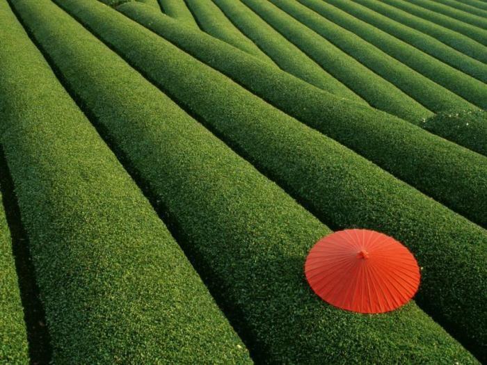 чайные плантации (700x525, 93Kb)