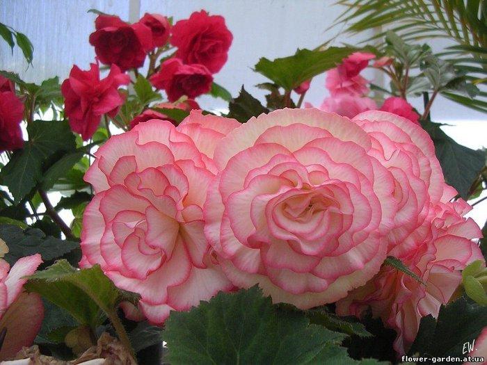 2.абутилон (цветёт), оранжевые цветы - 50 руб.  3.алоэ вера(лечебное):годовалые - 30 руб, меньше года - 15 руб.