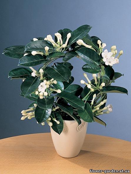 Цветки трубчатые, белые, восковидные.  Растение светолюбиво. но следует оберегать от ярких солнечных лучей.
