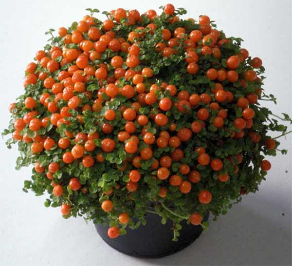 Декоративные комнатные растения