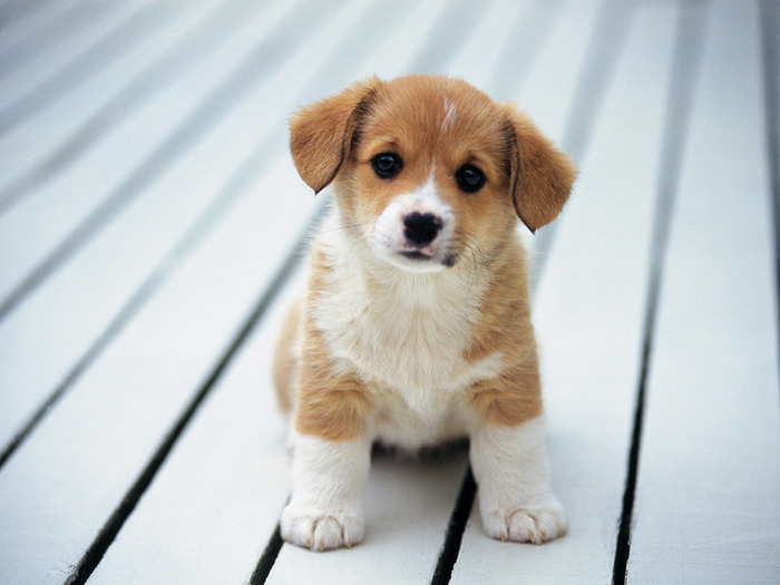 So-cute-puppies-14749028-800-600 (700x525, 88Kb)