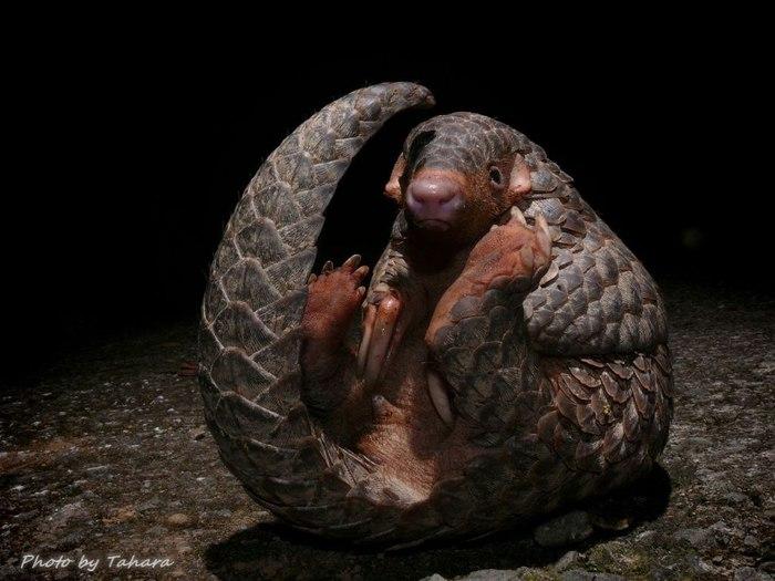 яванский ящер панголин фото (700x525, 70Kb)