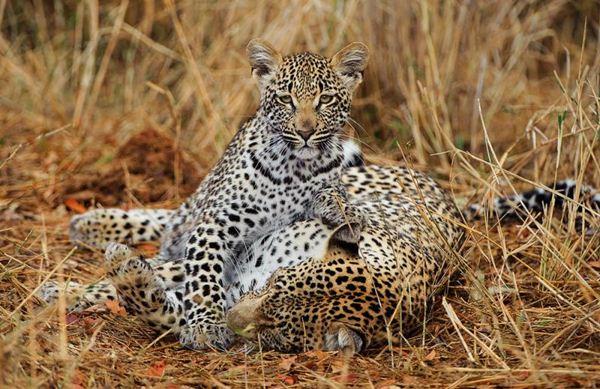 Африканские леопарды в фотографиях Грега дю Туа