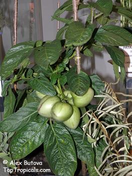 Solanum_muricatum2s (263x350, 61Kb)