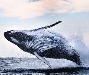 Летающий кит (295x249, 36Kb)