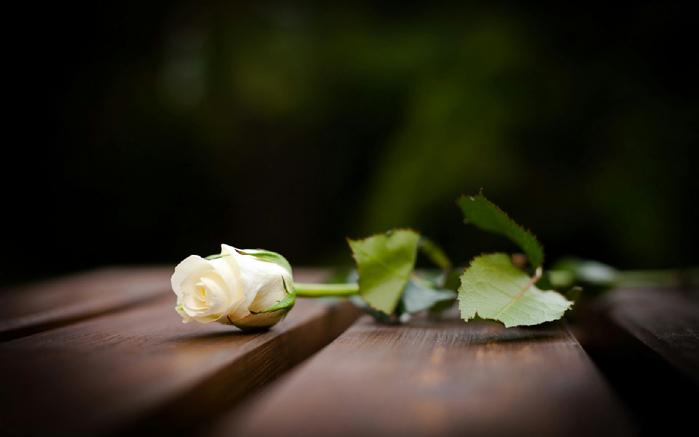 Роза, доски, дерево, белая, макро, Поверхность, бутон HD обои на