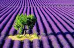 Превью 57450043_46811226_lavender (597x389, 69Kb)