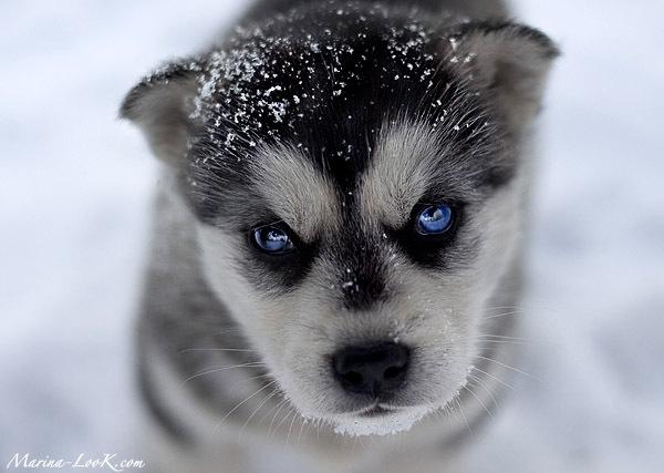 3821971_husky_puppy (600x427, 90Kb)