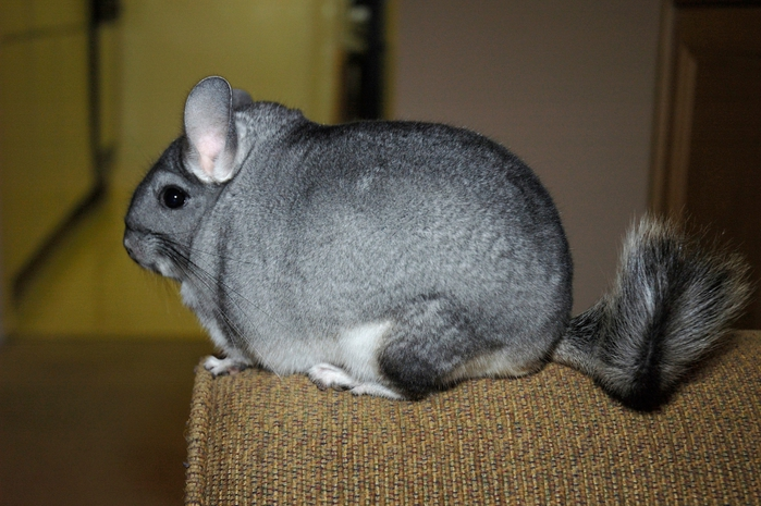 Chinchilla_lanigera1 (700x465, 262Kb)