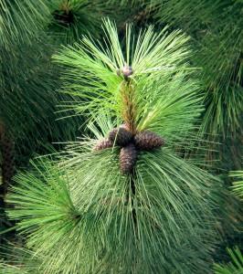 Pinus_ponderosa_cones-266x300 (266x300, 43Kb)
