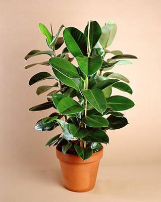 Ficus elastica (319x400, 72Kb)