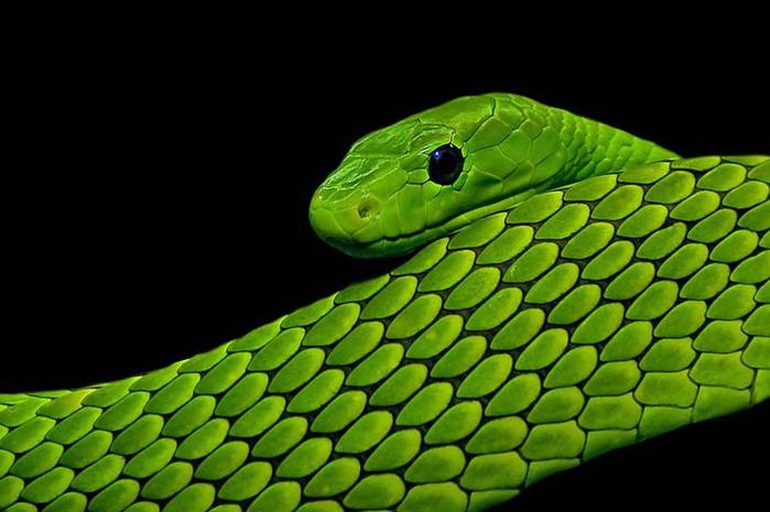 snakes-6 (700x465, 73Kb)