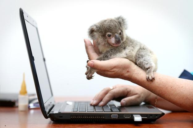детеных коалы фото (625x414, 124Kb)