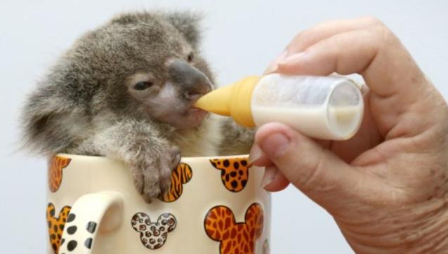 детеных коалы фото 2 (638x362, 125Kb)