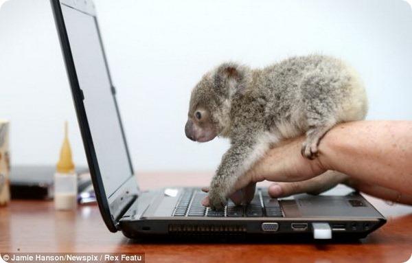 детеных коалы фото 4 (600x383, 50Kb)
