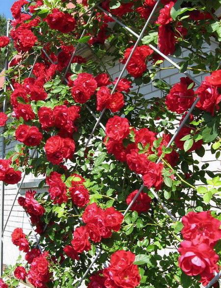 Плетистые розы ч 1 подготовка и