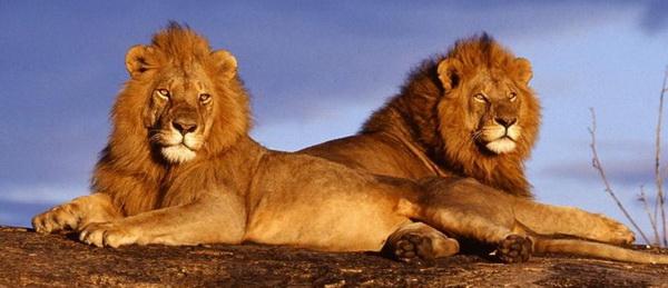 5 историй о животных, которые спасли людей от смерти/1352818025_1352792928_1 (600x259, 65Kb)