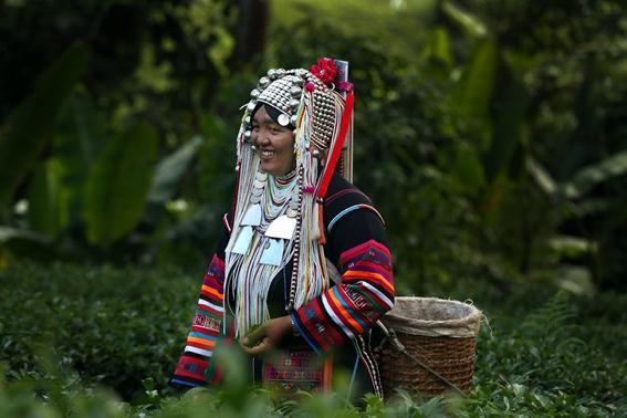Фотография. Уборка чая в Таиланде