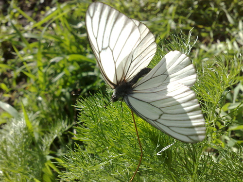Белые насекомые