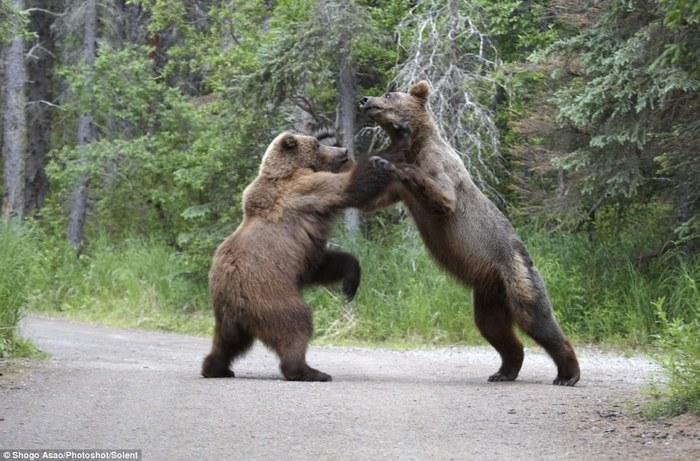 медведи гризли фото