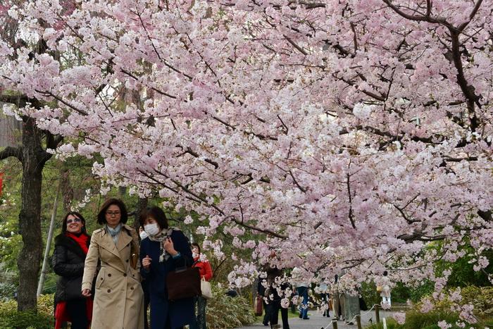 163_Sakura-iaponia (700x467, 227Kb)