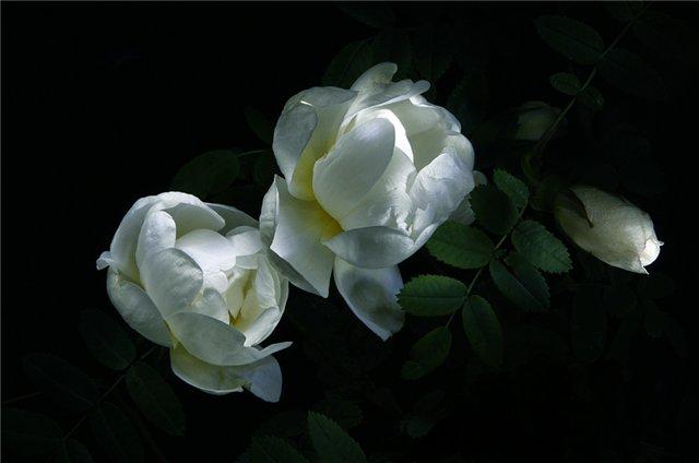 Сантана Лунный Цветок