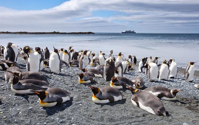 Австралийский остров Маккуори пингвины фото 2 (700x441, 364Kb)