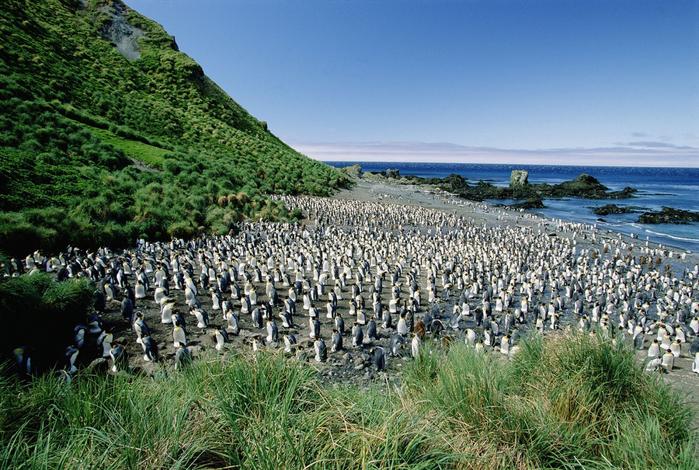 Австралийский остров Маккуори пингвины фото 4 (700x470, 498Kb)
