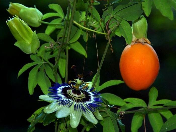 Пассифлора цветок
