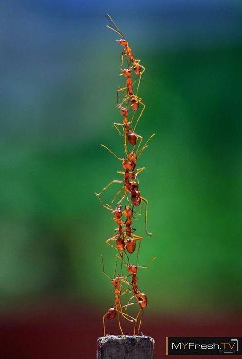 Муравьи. Пирамида из муравьев. (471x700, 27Kb)