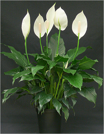 spathiphyllum3 (350x450, 230Kb)