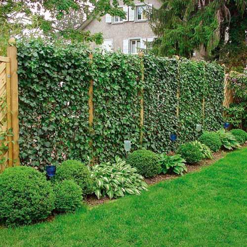 4800487_greenfencehedgeclimbingplants19 (500x500, 61Kb)