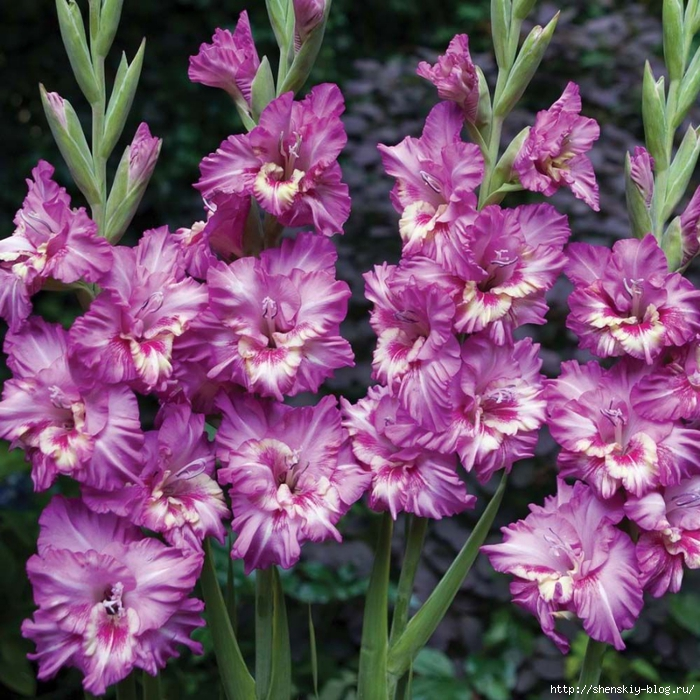 4121583_103480017_large_gladiolus_1 (700x700, 411Kb)