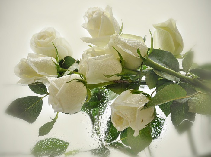 любовь из белых роз видео
