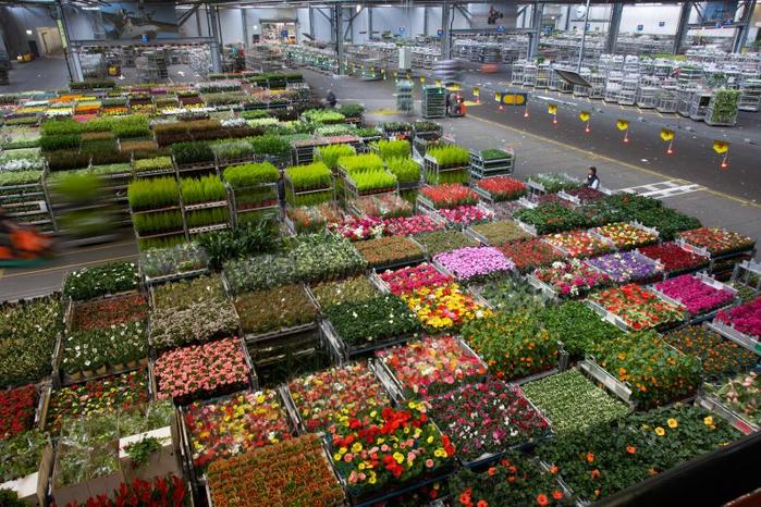 74501_florahollandnaaldwijkdistributieplanten (700x466, 507Kb)